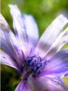 Lila blomma nära