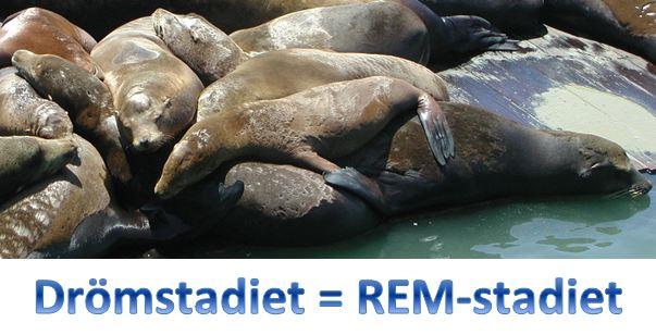 REM-stadiet